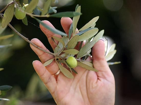 olivenbaum Überwintern wohnzimmer ~ preshcool = verschiedene, Wohnzimmer
